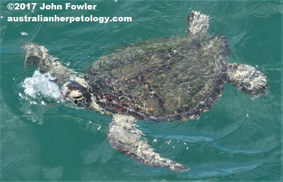GREEN TURTLE Chelonia mydas THE REPTILES OF AUSTRALIA