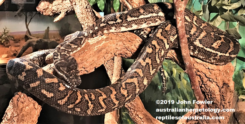 Coastal Carpet python Morelia spilota mcdowelli