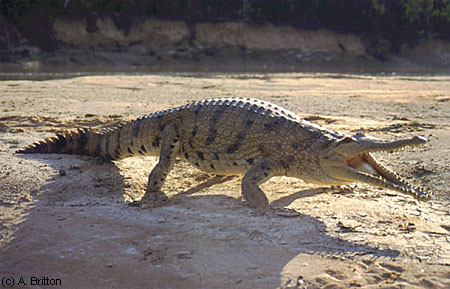 how to tell the age of a fresh water crocodile