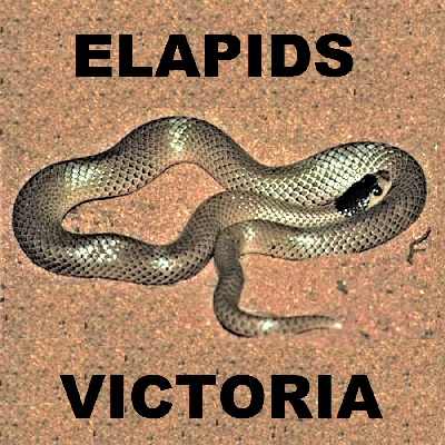 ELAPID SNAKES OF VICTORIA