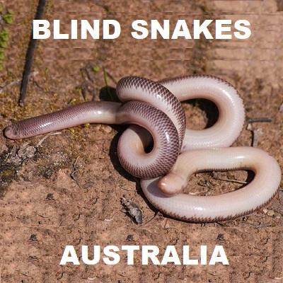 Blind Snakes of Australia