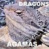 DRAGON LIZARDS Agamas Agamidae