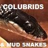 COLUBRID SNAKES - Colubridae Homalopsidae Mud Snakes