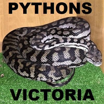 PYTHON SNAKES - Pythonidae