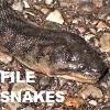 FILE SNAKES - Acrochordidae
