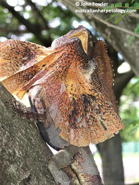 Australian Dragon Lizards Agamas