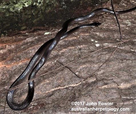 Slatey Grey Stegonotus Cucullatus From Fogg Dam Near Darwin NT