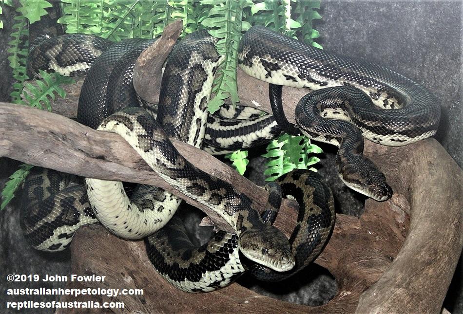 Southwestern Carpet Python Morelia spilota imbricata