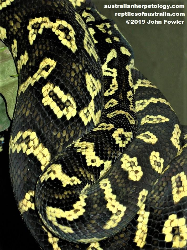 Jungle Carpet Python Morelia spilota spilota