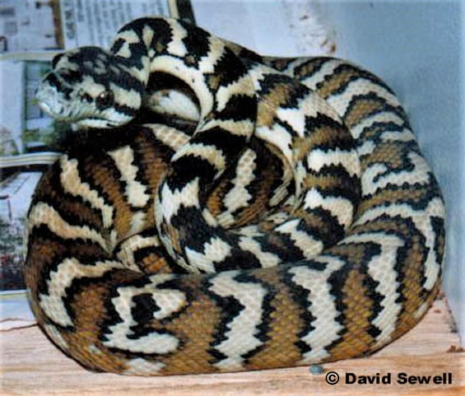 Morelia spilota variegata Darwin or Northwestern Carpet Python
