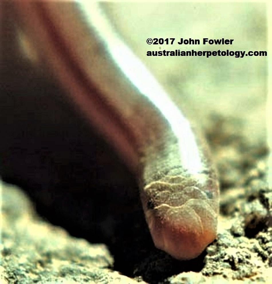 Prong-snouted Blind Snake - Anilios (was Ramphotyphlops) bituberculatus